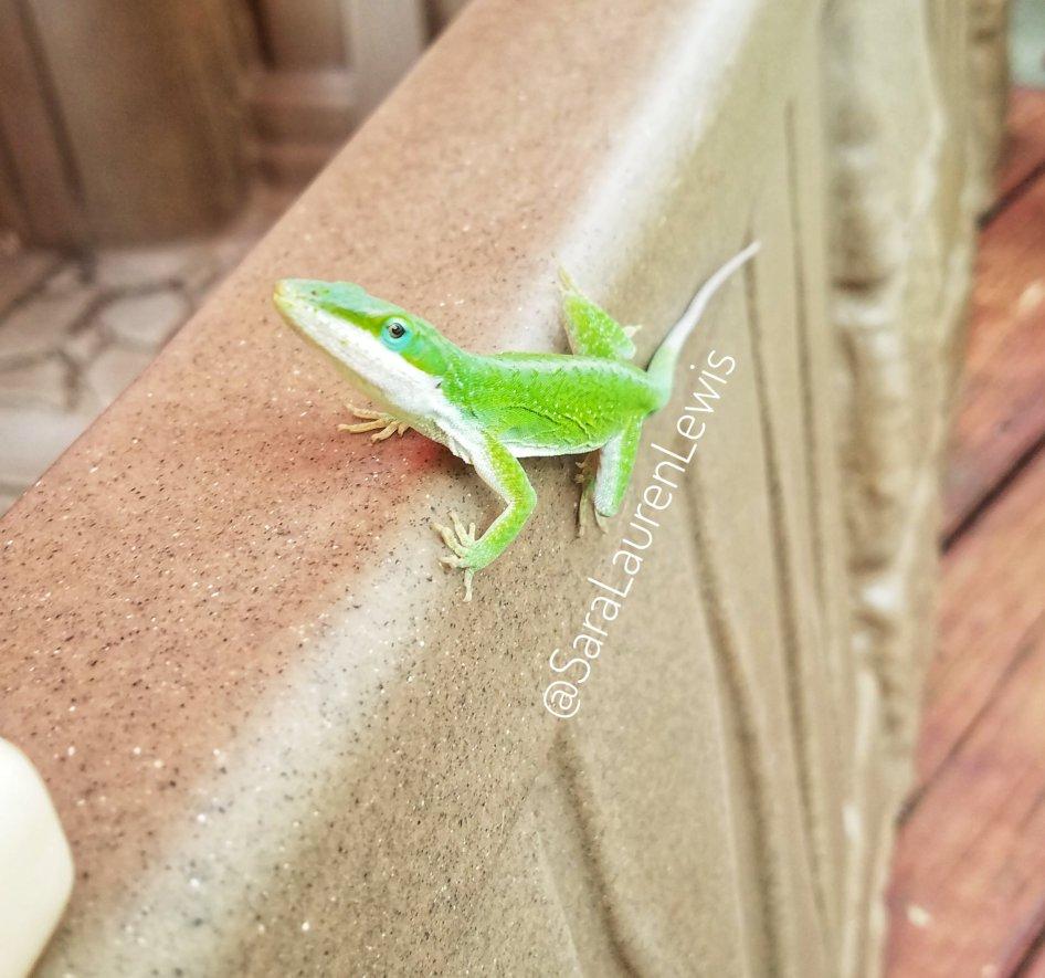 Little green lizard with bright blue eye